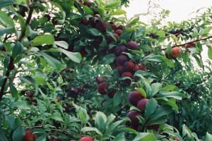 求购河南李子树水果苗价格实惠