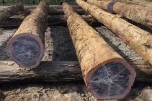 铁木豆原木价格多少钱一立方米_2020年2月21日