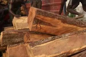 专业供应尼日利亚花梨木原木,刺猬紫檀大方规格齐全货源充足