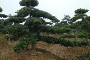罗汉松苗木