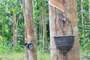 厂家供应进口橡胶木原木可加工木板