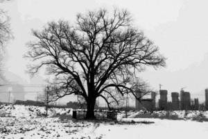 为何我们的祖先都喜欢种植槐树?它和科考有什么联系?