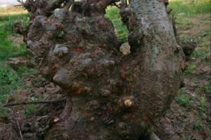 如何处理盆景树桩制作的切口来提高成活率!