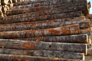 俄罗斯桦木原木源头直供圣彼得堡地区