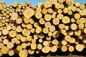 俄罗斯桦木原木源头直销圣彼得堡地区