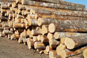 俄罗斯桦木原木厂家直销圣彼得堡地区