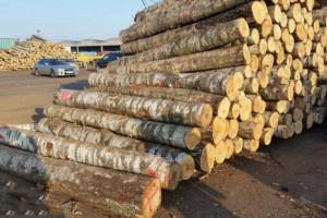 拉脱维亚桦木原木高清图片