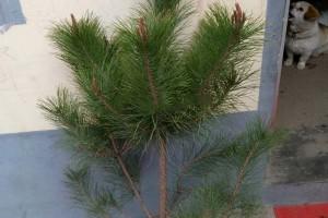 油松苗批发价格,油松树苗,求购油松苗木