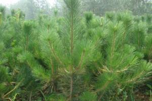 山东苗木基地大量供应50厘米60厘米70厘米80厘米黑松苗