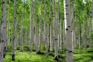 白杨树的密度是多少?白杨木板材适不适合制作家具?