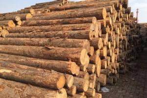 日照凯帝工贸樟子松原木,白松原木,白橡原木高清图片
