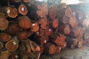 优质的红心油柏木原木大量供应