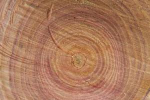 供应香椿木原木