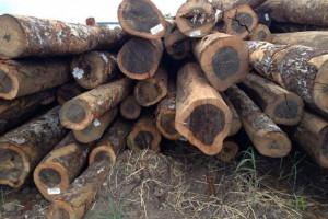 上海瑞垦国际贸易南美铁木豆,南美酸枝,黑酸枝,非洲原木材高清图片