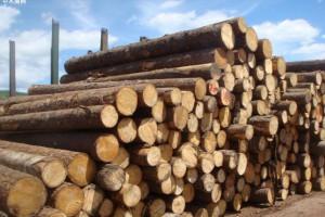 山东木材价格暴涨100元每立方