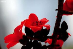 早春二月,木棉花苞炸开赤红的花瓣火苗一样蹿出