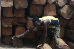 非洲尼日利亚锦程木业亚花梨原木大方高清图片