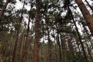 种杉木好还是种松树好?农村朋友必须了解的种树秘密!