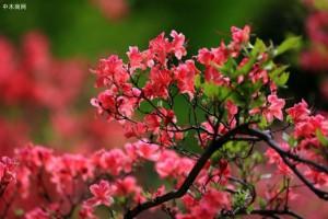 千年古树杜鹃开花已弥足珍贵,古树花海更是难得一见的壮美景致