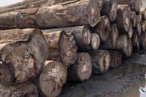 非洲绿柄桑原木厂家直销
