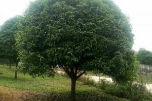 桂林海清园林园林绿化桂花树苗木高清图片