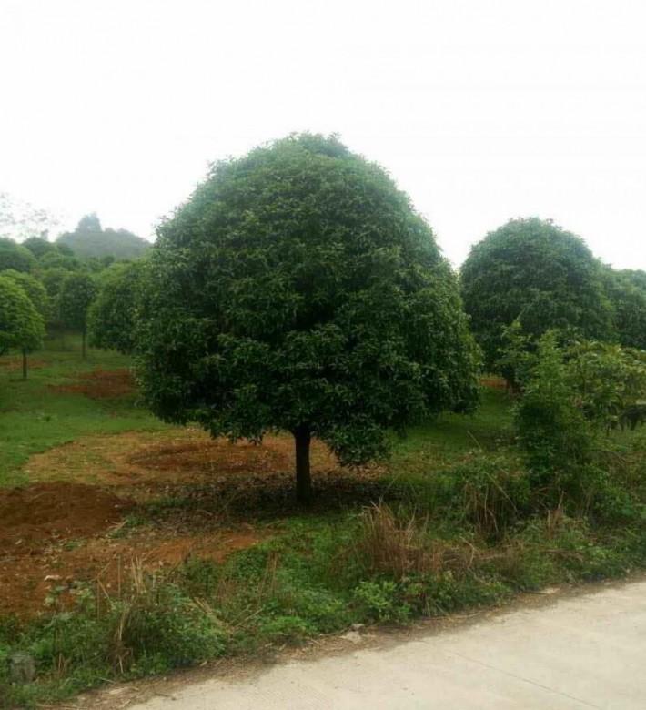 桂林海清园林园林绿化桂花树苗木高清图片厂家