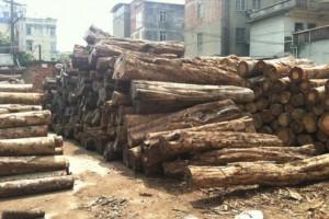 广西南宁优质黄桑木原木,柘木原木寻买家长期合作不同规格均可定制
