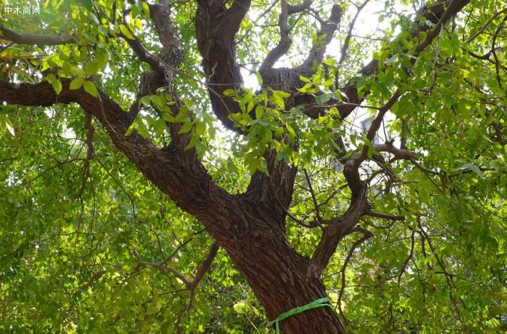 农村的枣树很硬,为啥有的老人说枣木不能做拐棍,那啥木头做拐棍比较好呢价格