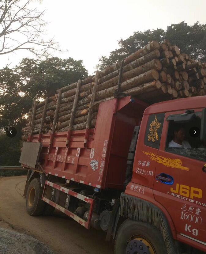 云南西南桦木原木原产地直销,价格便宜图片