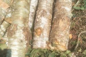 云南西南桦木原木原产地直销,价格便宜