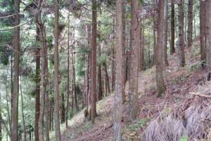 云南普洱市西盟杉木原木林场高清图片