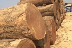 四川金丝楠木原木材料厂家批发价格