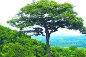 油楠柴油树木-热带雨林储油库