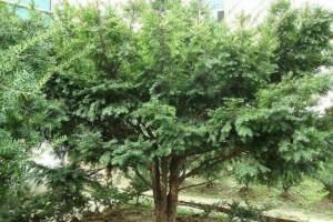 红豆杉木头主治功效与作用有哪些?
