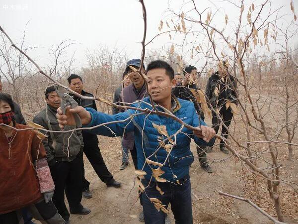 枣树修剪技术?要想枣树早结果幼树修剪很重要!夏为主冬为辅产品