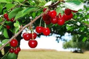 樱桃树栽培技术方法?樱桃树结果枝组的培养,配置和修剪技术技巧