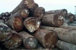 大径漆木原木批发价格