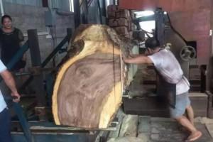一手货源大量供应美国黑胡桃木锯材级原木