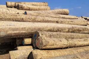 大连中信联合木业美国白蜡木原木高清图片
