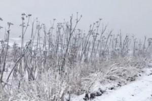 山东潍坊四月飘雪,刚冒芽的香椿树遭了殃?
