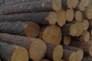 俄罗斯红松原木,长度六米,直径40公分