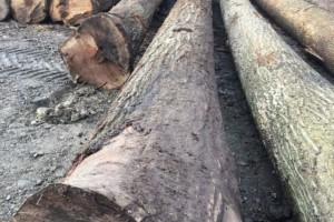 大直径美国红橡原木原产地直销