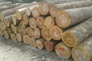 宾州白蜡木原木原产地直销