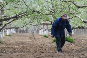 苹果花又开了,种苹果树的人且老了