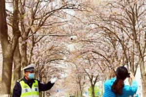 北京这条路上:泡桐树花招来了拍客,拍客招来了交警