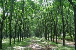 橡胶木原木原产地批发
