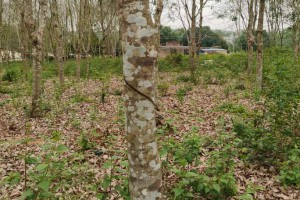 电白橡胶木原木原产地批发