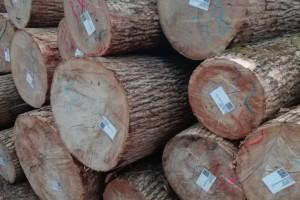 水曲柳原木原产地实物高清在线视频