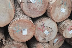 黑龙江省双鸭山市博爱园林场水曲柳原木高清图片