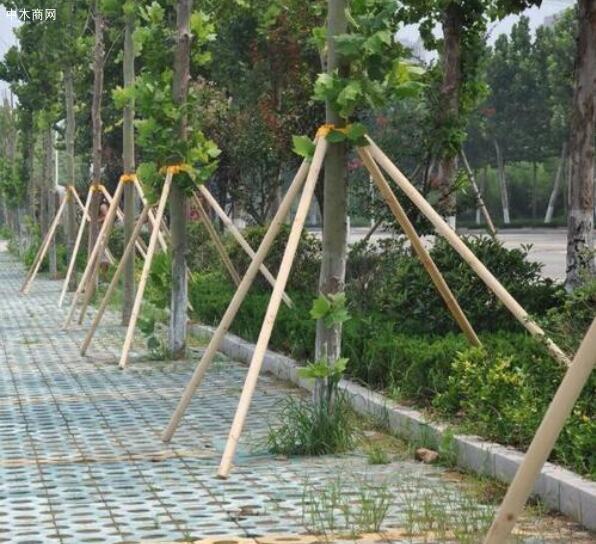 河南淮森园林绿化材料厂家批发绿化支撑杆,杉木杆,杉木桩,绿化杆图片品牌